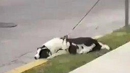 Смотреть Реакция собаки на проезжающие машины