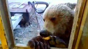 Смотреть Подкормили медведя