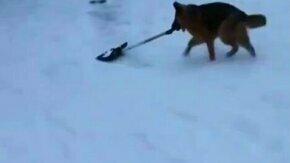 Овчарка чистит снег лопатой