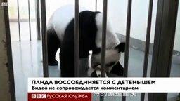 Смотреть Панда воссоединилась со своим малышом
