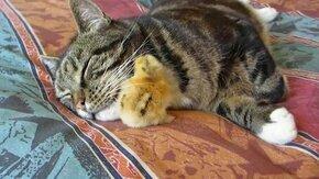 Смотреть Цыплёнок пригрелся у кошки