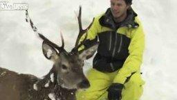 Смотреть Откопали оленя из-под снега