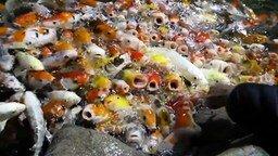 Смотреть Столпотворение голодных рыбёшек