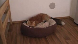 Смотреть Лисичка играется с подушкой