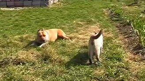 Смотреть Котяра зверски играет с псом