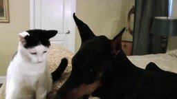 Смотреть Отношения кота и добермана