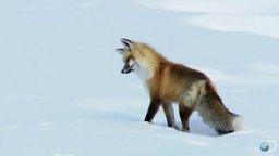 Смотреть Лиса охотится на снегу