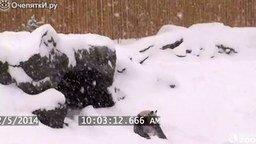 Смотреть Панда резвится в снегу