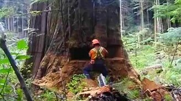Смотреть Могучее дерево было...