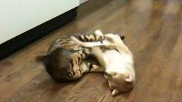 Смотреть Котяра играет со щенком