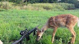 Смотреть Оленёнок не боится оружия