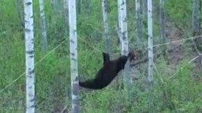 Смотреть Медведь клюнул на приманку