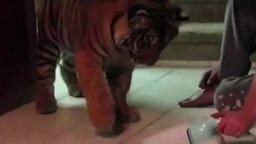 Тигр против пылесоса смотреть видео прикол - 2:06