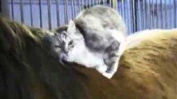 Смотреть Кошка ласкается к лошади
