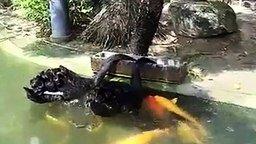 Лебеди кормят рыбок смотреть видео прикол - 1:09