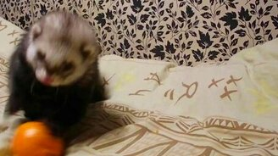 Смотреть Милый хорёк играет с мандарином