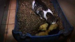 Смотреть Кошка воспитывает утят