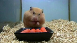 Смотреть Хомяк запасает морковку