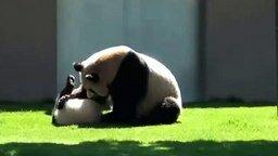 Смотреть Панда и маленький детёныш резвятся