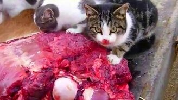 Адские коты жрут мясо смотреть видео прикол - 0:52
