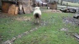 Смотреть Овечка думает, что она собака