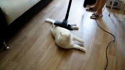 Смотреть Кот не боится пылесоса