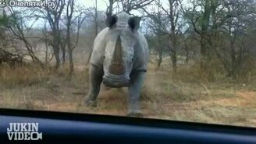Смотреть Носорог атакует автомобиль