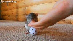 Смотреть Удивительные трюки крысы