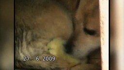 Смотреть Собака усыновила цыплёнка