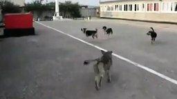 Собаки поют гимн России смотреть видео прикол - 0:57