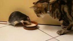 Смотреть Жадная крыса против кота