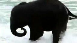 Смотреть Слонёнок наслаждается купанием в море