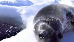 Смотреть Тюлень-рыбак