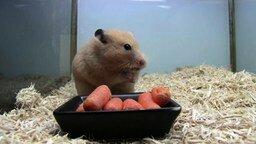 Смотреть Хомяк ныкает морковку