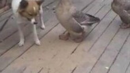 Смотреть Гусь наезжает на пса