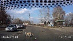 Собака - правильный пешеход смотреть видео прикол - 0:28