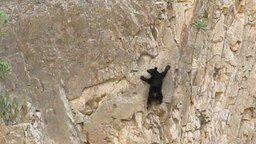 Смотреть Медведи-скалолазы