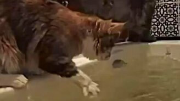Смотреть Кошачий ритуал купания