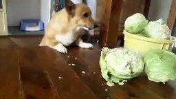 Смотреть Голодный пёс ест капусту