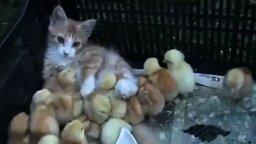Смотреть Котёнок и цыплятки