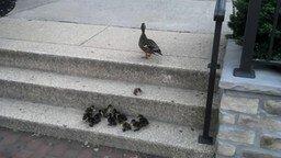 Смотреть Утята против лестничных ступеней