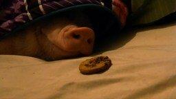 Смотреть Свинюшка и печенька