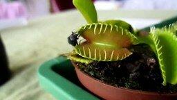 Смотреть Растение съедает муху
