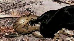 Смотреть Схватка пантеры и анаконды