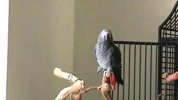 Идеальный слух у попугая смотреть видео прикол - 0:34