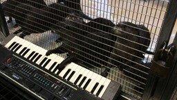 Смотреть Выдры играют на органе