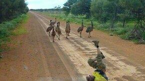 Смотреть Как приманить дикого страуса