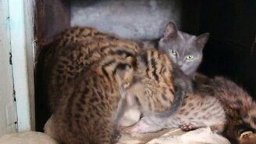 Смотреть Дальневосточные котята у приёмной мамы-кошки