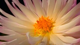 Смотреть Цветы распускаются...