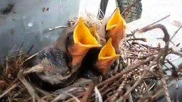 Смотреть Гнездо с птенцами на подстанции
